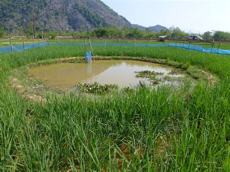 A rice and fish farm in Laos