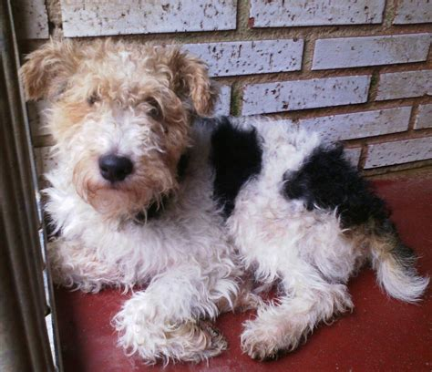 George - Wire Fox Terrier - Rehomed - Terrier SOS - a UK