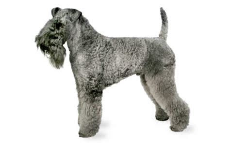 Kerry Blue Terrier Dog Breed Information, Pictures