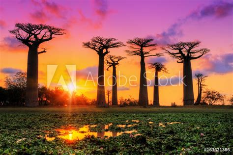 Papiers peints Beautiful Baobab trees at sunset at the