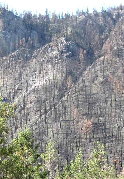 Fire-ravaged trees in Marble Canyon, near Cache Creek, Caribou